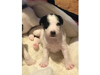 Wire fox terrier x parson Russell