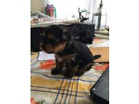 minature yourshire terrier puppiesfor sale