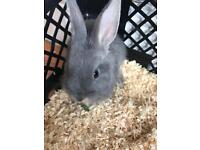 Urgent rehome Grey little bunny