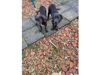 Pure cred cane Corso pups