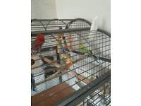 4 young budgies and large cage for sale