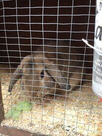 Rabbit Dutch Lop (Male)