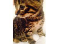 Kitten bengal X