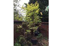 Japanese Maple Tree 2.5-3m Specimen