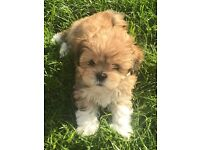 Pedigree Lhasa Apso puppies available now! - 3 boys left!