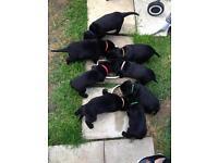 Rottweiler X Labrador Puppies