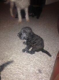 Bedlington terrier pupys