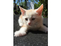 VERY LARGE handsome strong male kitten cream on white cat ready to go now