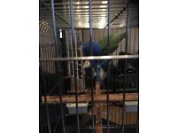 Green neck parrot