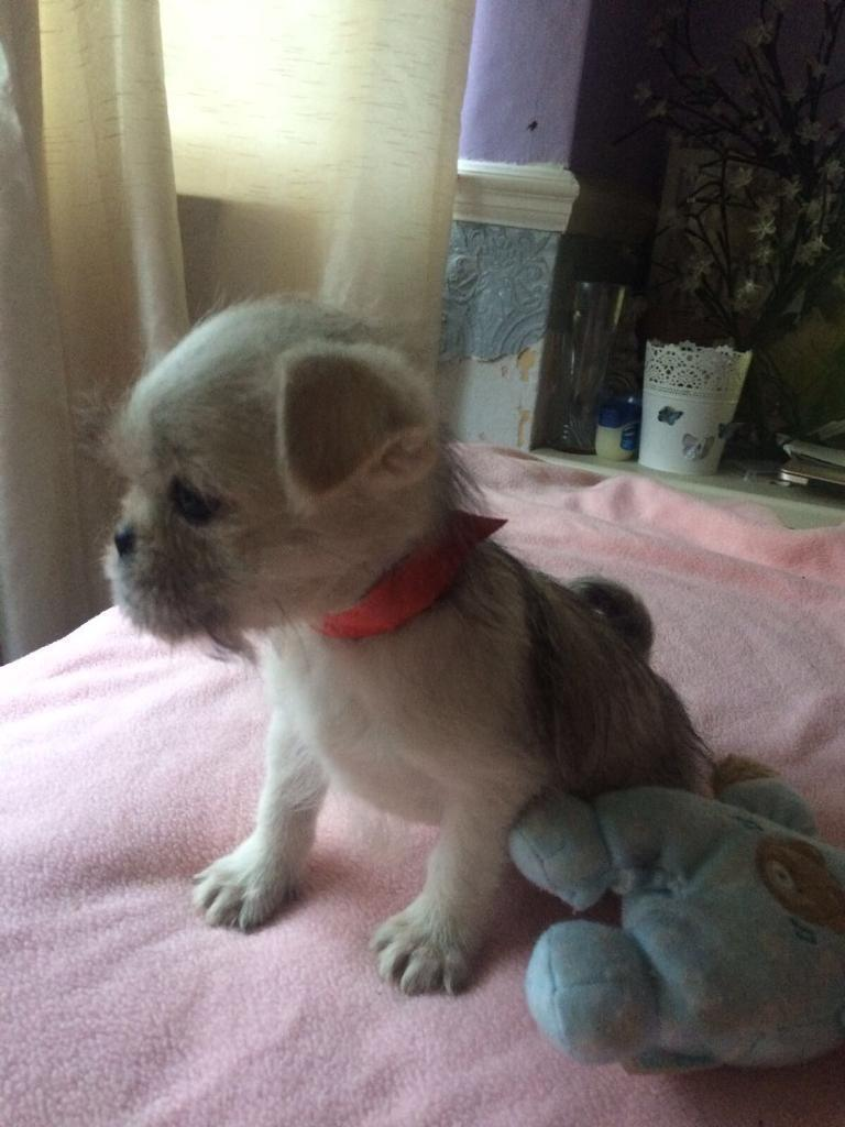 Adorable Bishon X Pug puppy's for sale