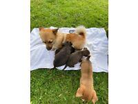 Jack Russel cross Pomeranian puppy