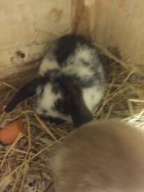 Mini lop baby bunny