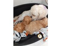 Cavapoo puppies Red and Apricot