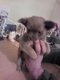 chihuahua pup male