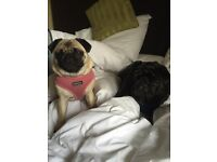Dog Sitter Wanted for 2 Cute Pugs