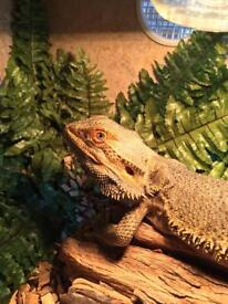 2 adult bearded dragons and 4ft viv
