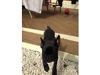 French bull dog puppy kc reg