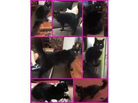 Missing black longhaired female cat