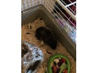 I have a male and a female guinea pig with hutches looking for new homes