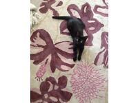 6 month old black kitten