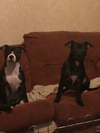 Staffy pups. Brother & sister up for resale.