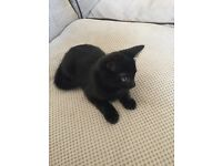 Lovable all black kitten (13 weeks old) for sale