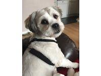 Shih Apso Male Dog for Sale