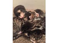 Four kittens for sale- three beautiful tabbies and a black one with brown markings