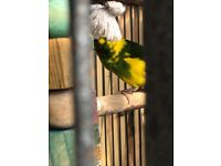 Kakariki bird green and yellow parrot small missing flew away