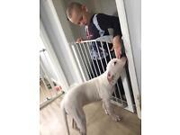American bulldog bitch pup