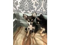 KC Registered Blue Chihuahua Puppy Ready To Leave.
