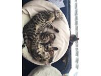 Bengal Kittens all Males