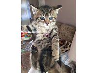Beautiful tabby kittens Ready now