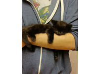 currently all sold- gorgeous fluffy kittens ready soon only one left