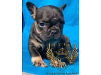 Black and tan fully suited french bulldog girl