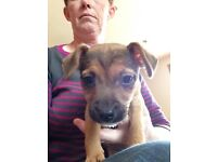 Border terrier cross patterdale pups for sale