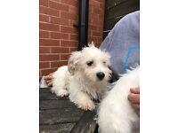 12 week old Jackapoo puppies for sale