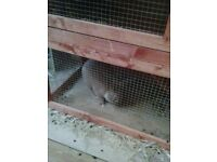 Female Baby Rabbit 5 months old, with new hutch and carrier