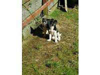 Akita cross puppies