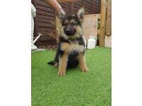 KC straight back German Shepherd puppies