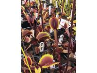 Venus fly traps, Hardy perennial for sale