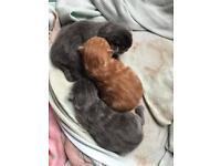 Mainecoon x Burmese kittens