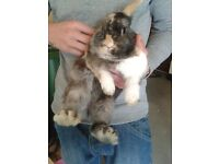 1 year old lion head male rabbit for sale