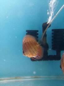 Discus fish red curipuea