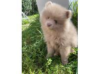 Kc Lilac Pomeranian Boy *Reduced*