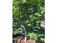 Acer Big Plant