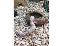 Leopard geckos for sale