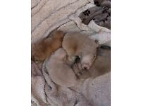 Small Pomeranian KC registered (males)