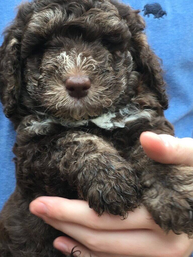 Cockapoo Puppies for Sale - Chocolate with White/Cream Markings | in  Stratford-upon-Avon, Warwickshire | Gumtree