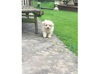 Pomeranian cross Bichon frise pups for sale
